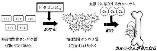 図1 ビタミンK2の作用メカニズム